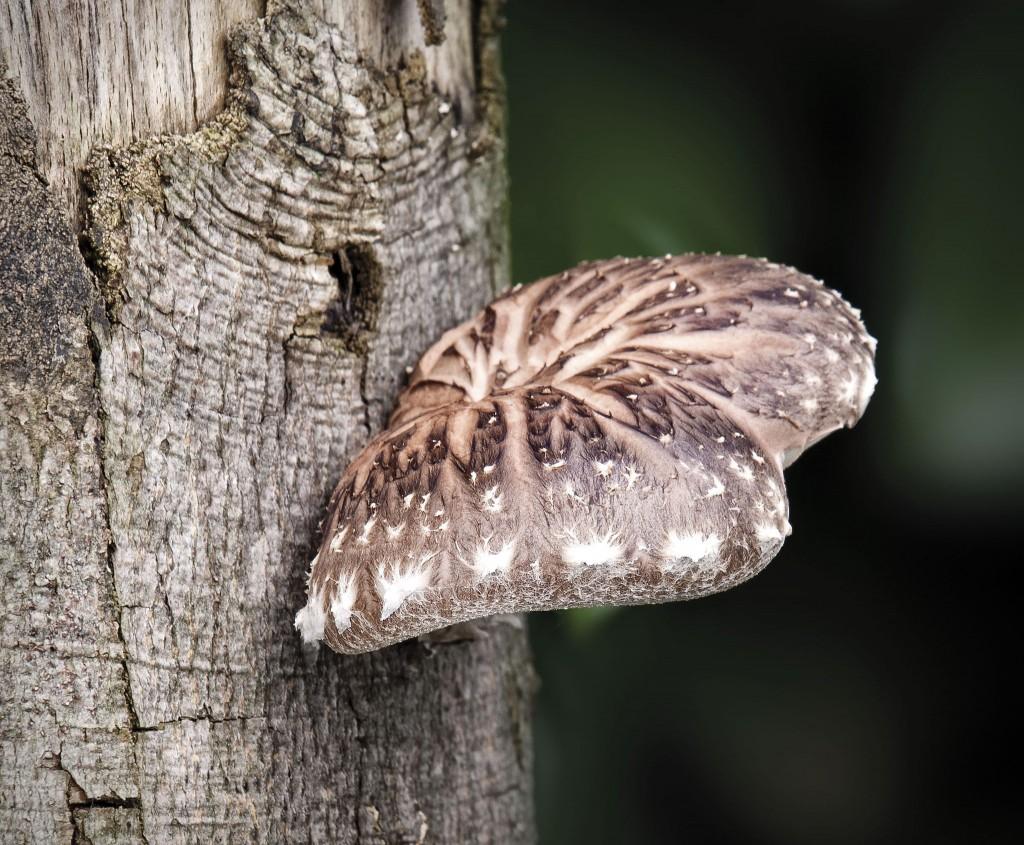 Shiitake mushroom growing on a tree