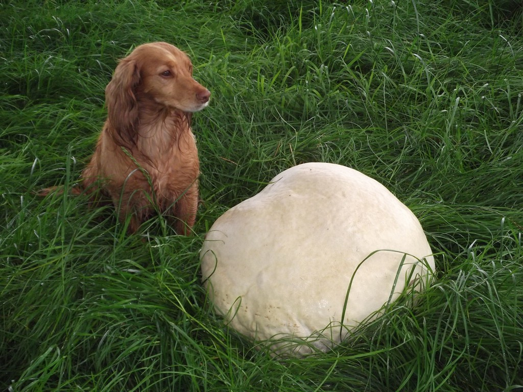 Calvatia gigantea (giant puffball) can occasionally reach 150 cm (59 in) in diameter and weigh up to 20 kilograms (44 lb). The mushroom is edible when young. It contains calvacine, a compound that has anticancer and antiviral activity (but cannot be used as it causes unacceptable side effects).