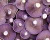 Lepista nuda medicinal mushroom