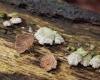 Schizophyllum commune, split gill mushroom