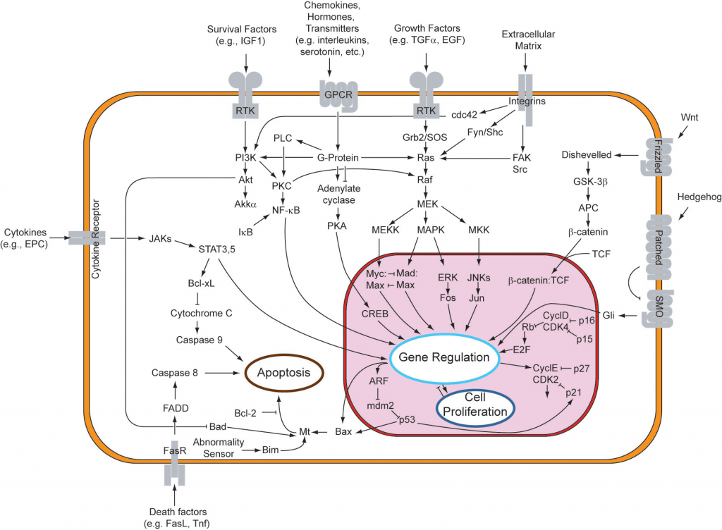 apoptosis mechanism (signal transduction pathways) diagram