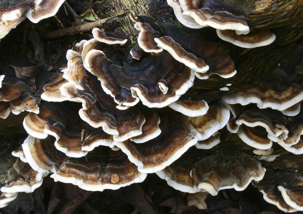 Young Turkey tail mushroom, Trametes versicolor, growing on a tree