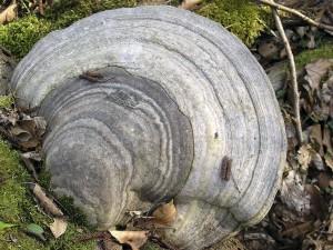 fomes fomentarius medicinal mushroom growing on a tree (older specimen)